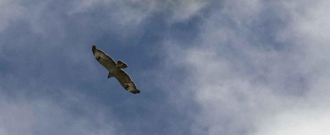 Buizerds en wouwen, veel geziene roofvogels in omgeving