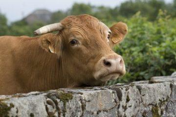 Typische Franse Limousin koe vlakbij camping Chantegril